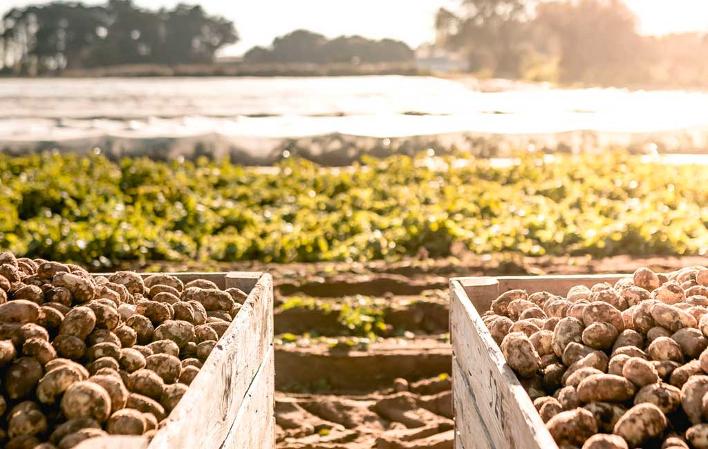 pommes de terre de l'île de Ré AOP